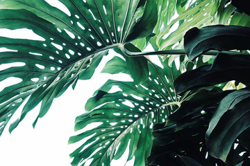 Abstract tropical green leaves pattern on white background, lush foliage plant bush of Monstera (Monstera deliciosa) the tropic popular houseplant. Wall mural