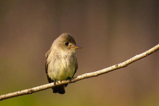 Acadian Flycatcher on Branch
