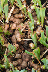 Roots and tubers of iris flowers in a garden