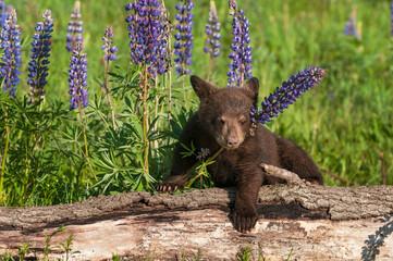 Wall Mural - Black Bear Cub (Ursus americanus) Chin Over Lupine Stalk Summer