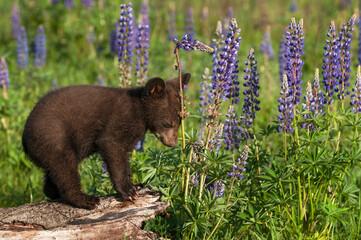 Wall Mural - Black Bear Cub (Ursus americanus) Leans Head Against Lupine Stalk Summer
