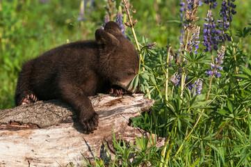Wall Mural - Black Bear Cub (Ursus americanus) Nose in Lupine Plant Leaves Summer