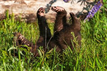 Wall Mural - Black Bear Cub (Ursus americanus) Rolls On Back in Grass Summer