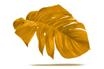 Gold plant leaves monstera on white background, Clipping path.