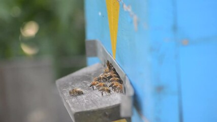 Wall Mural - Bees arrive, work near the entrance to the hive, and also vent the hive.