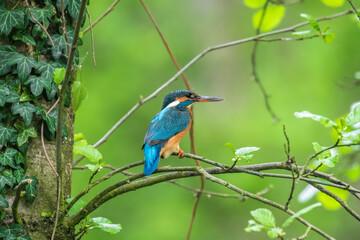 Zimorodek zwyczajny Alcedo atthis odpoczywa na gałęzi, kolorowy ptak, który łowi ryby