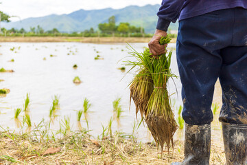 farmer work. rice seedlings are ready for planting with soft-focus and over light in the background