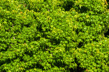Green maple leaves as background
