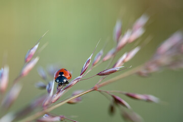 Small red ladybug.  Soft and blurry background. Macro photo..