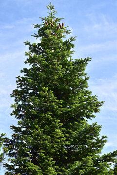 white fir tree needle conifer evergreen Nordmann