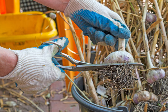 Garlic pruning with scissors