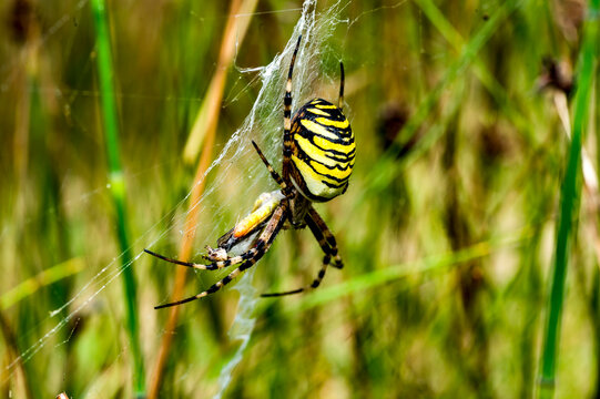 spider on the web tijgerspin (Argiope bruennichi)
