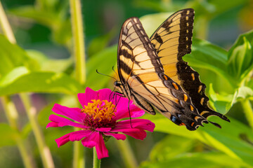 Yellow swallowtail butterfly perched on bright pink zinnia flower in garden