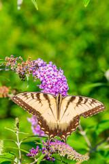 Yellow swallowtail butterfly perched on purple butterfly bush flower