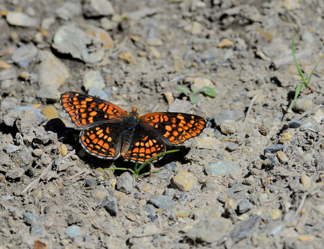Close up of Variable Checkerspot butterfly with wings spread.