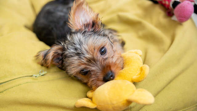 Cute female Yorkshire terrier puppy biting her yellow soft toy