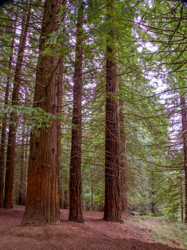 Inside a large redwood forest. Concept of greatness, tranquility, security.