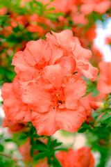orange azalea flowers in garden