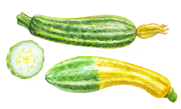 Two varieties of zucchini squash, watercolor illustration on white background, botanical illustration, print with vegetables for various designs.