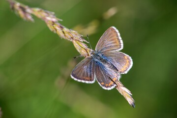 he Common Blue (Plebejus idas) is a species of diurnal butterfly in the blue family