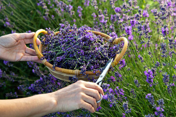 Woman picking lavender flowers at sunset.
