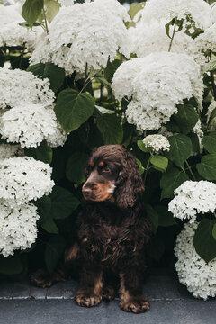 Cute cocker spaniel puppy sitting between white hydrangea flowers