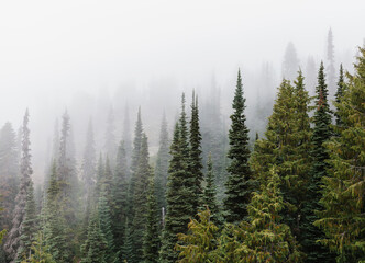 Dense fog over lush old growth forest