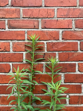 Weed growing in front of brick wall