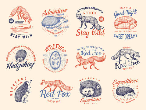 Red fox and Hedgehog badges set. Forest ginger wild animal label or logo. Vector Engraved hand drawn Vintage old sketch for stamp, t-shirt or typography.
