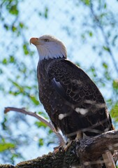 American black and white bald eagle