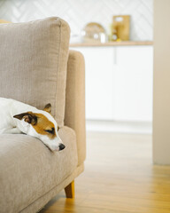 Sad and lonely dog laying down on sofa.