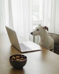 Small white dog sitting near a laptop
