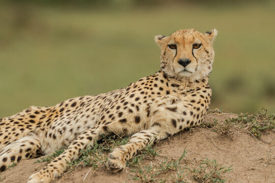 Cheetah chilling out after a good meal