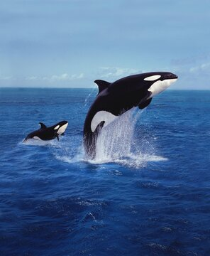 KILLER WHALE orcinus orca, MOTHER AND CALF LEAPING