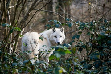 Photo sur Plexiglas Loup ARCTIC WOLF canis lupus tundrarum, ADULT IN GREEN FOLIAGE