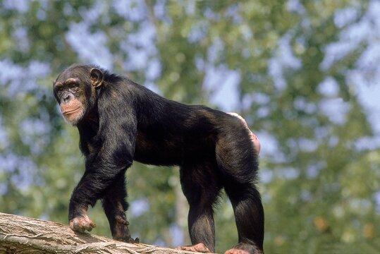 CHIMPANZEE pan troglodytes, ADULT STANDING ON BRANCH