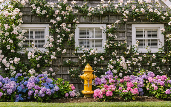 Fire Hydrant and Summer Roses Growing on Home on Nantucket Island Massachusetts