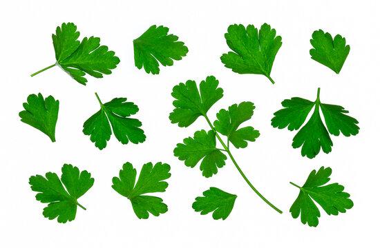 set of freshly picked Italian parsley leaves isolated on white background