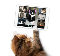 Top view of cat talking to cat friends in video conference, using a tablet. Group of cats having an online meeting. Pets imitating humans.  Isolated on white.