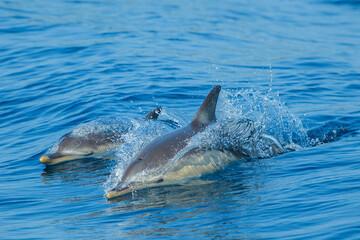Papiers peints Dauphins Delfin