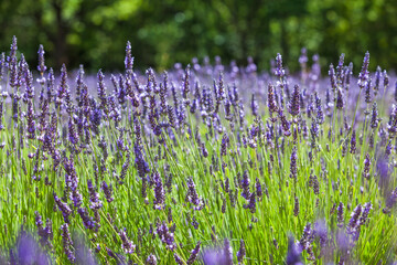 Meadow of Lavender / Detail of lavender field at Provence (France) and green forest background
