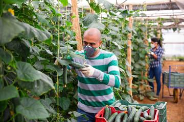 Latin american farmer in medical face mask working in greenhouse, harvesting organic cucumbers....