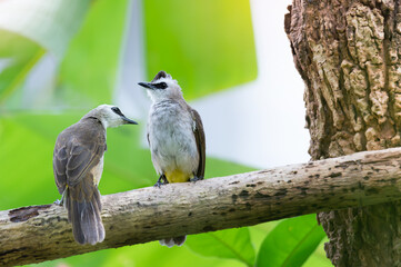 A breeding pair of bulbul birds ..Pair of yellow vented bulbul bird perching side by side in the opposite direction on tree branch looking to each other with blurred natural green  background.