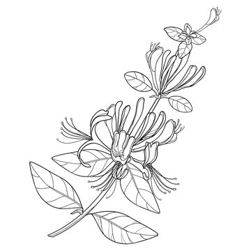 Branch of outline Lonicera or Japanese Honeysuckle with flower, bud and leaf in black isolated on white background.