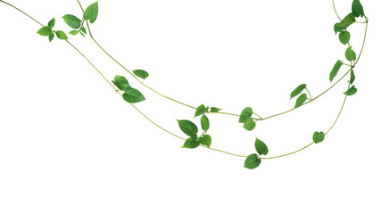Wall Mural - Jungle vines liana plant with heart shaped green leaves of Cowslip creeper (Telosma cordata), nature frame layout isolated on white background with clipping path.