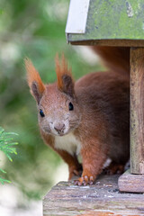 Printed kitchen splashbacks Squirrel A sweet squirrel looking out of a birdhouse