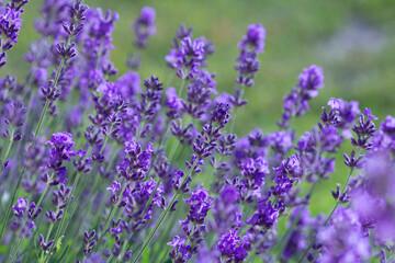 Summer lavender on green garden background. (front view)