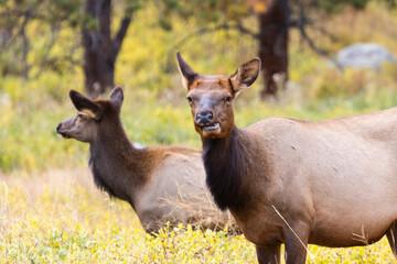 Elk Herd on a Beautiful Rocky Mountain Evening