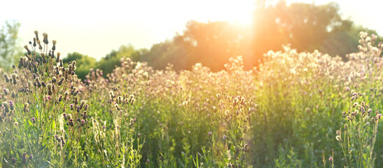 Canvas Prints Culture field grass in sunlight, nature summer background. rustic landscape. sunny wild meadow