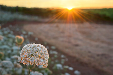 Queen Anne's Lace in meadow with sun burst at sunset